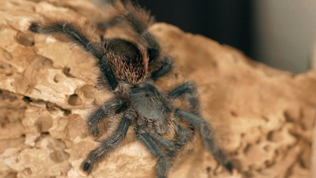 5 Pink Toe Tarantula Facts & Care Tips | Pet Tarantulas