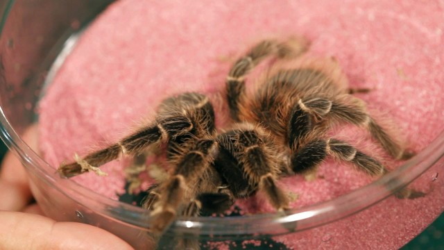5 Red Rump Tarantula Facts & Care Tips | Pet Tarantulas