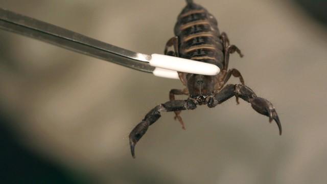 6 Flat Rock Scorpion Facts & Care Tips   Pet Tarantulas