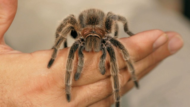 6 Rose Hair Tarantula Facts & Care Tips | Pet Tarantulas