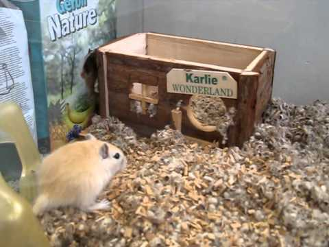 Baby gerbils (6 weeks old) digging and exploring