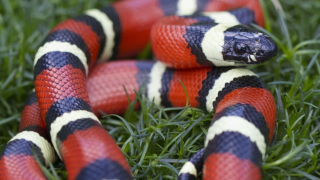 California King Snake vs. Corn Snake | Pet Snakes
