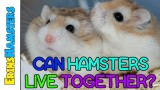 CAN HAMSTERS LIVE TOGETHER?