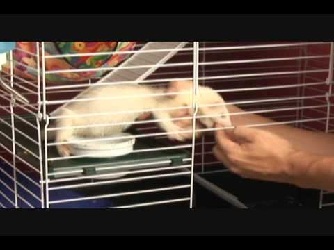Caring for Your Ferret Part 2