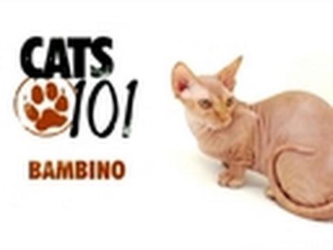 Cats 101- Bambino