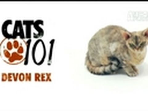 Cats 101: Devon Rex