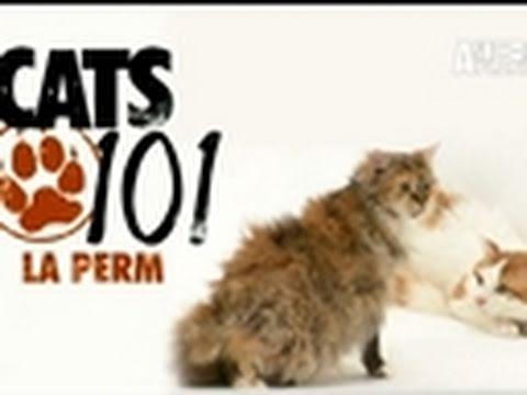 Cats 101: LaPerm