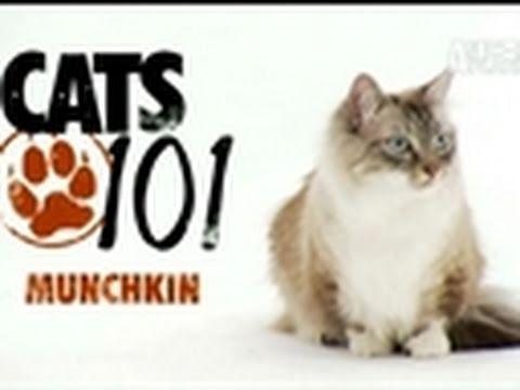 Cats 101: Munchkin