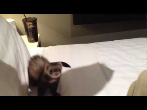 Crazy little pet ferret playing, bouncing around, biting, jumping, dancing and stealing