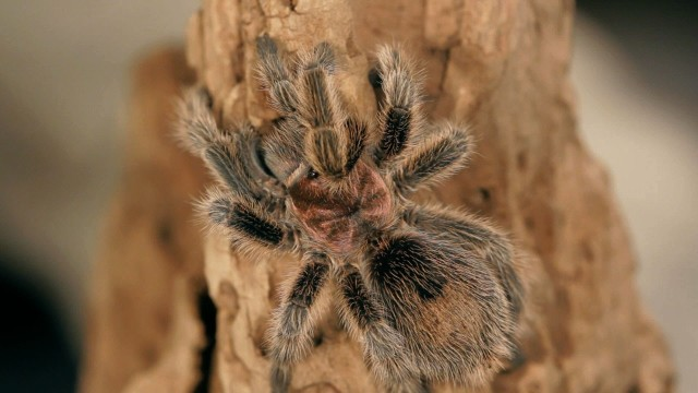 Do Tarantulas Make Good Pets? | Pet Tarantulas