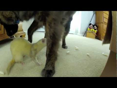 Funny Ferrets Play With Cute Dog