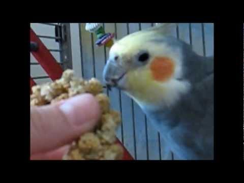 Hand Feeding a Shy Cockatiel