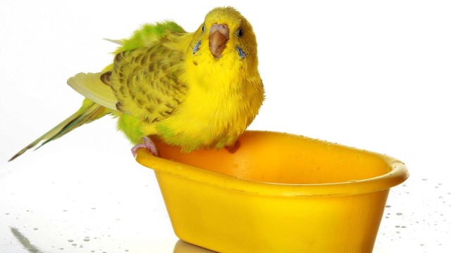 How to Bathe a Bird | Pet Bird