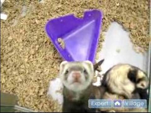 How to Care For a Ferret : Pet Ferret Vaccinations