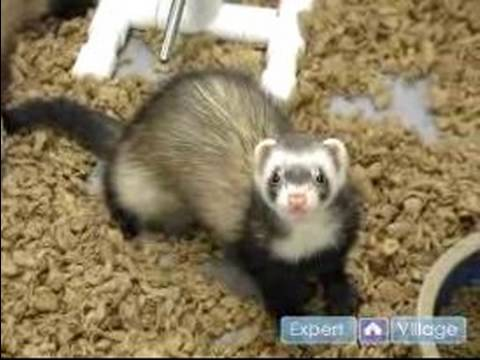 How to Care For a Ferret : Pet Ferret Facts