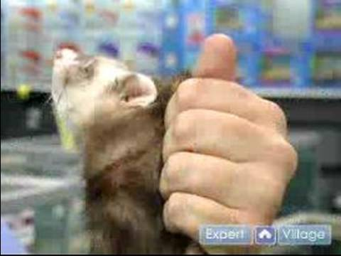 How to Care For a Ferret : Pet Ferret Handling & Cleaning