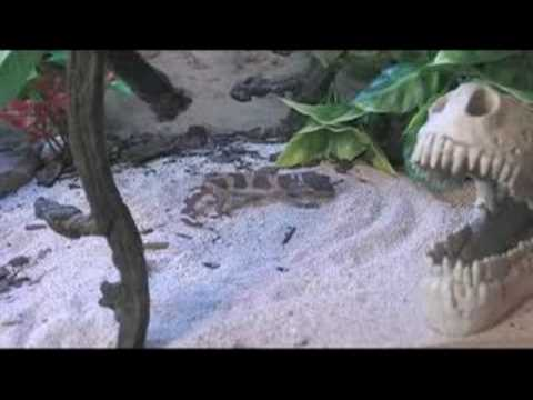 How to Care for Leopard Geckos : Leopard Gecko Physical Characteristics
