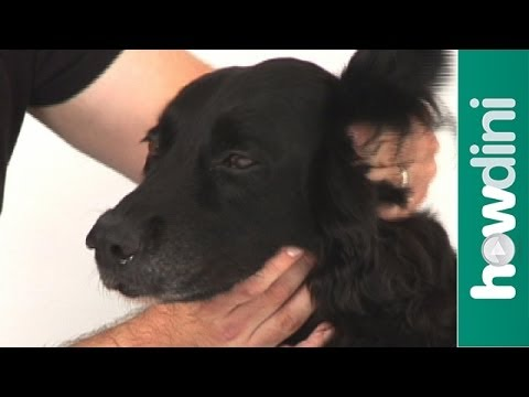 How To Clean Your Dog's Ears At Home – Tips For Cleaning a Dog's Ears