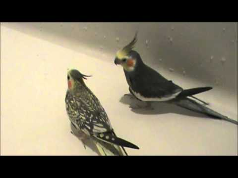 How to Give Your Pet Bird a Bath Indoors