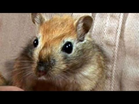 How To Look After Gerbils