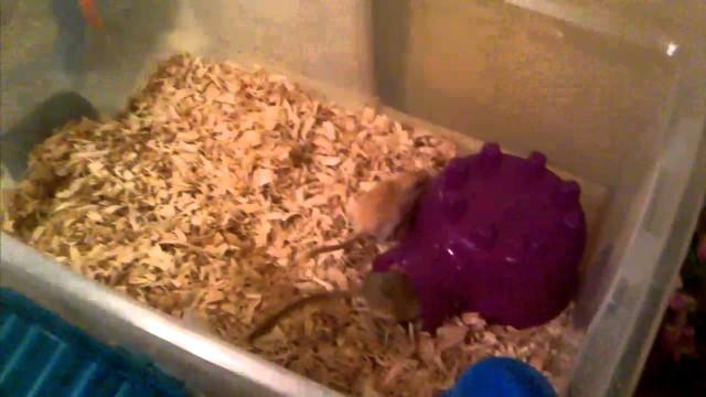 how to set up a gerbil home/ habitat