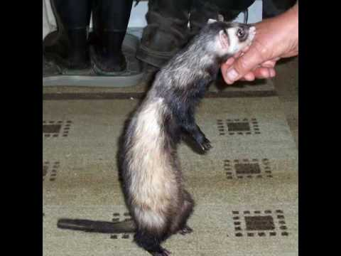 How to stop ferret from biting