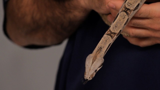 How to Take Care of a Boa Constrictor | Pet Snakes