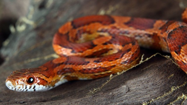How to Take Care of a Corn Snake | Pet Snakes