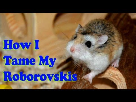 How To Tame A Roborovski Dwarf Hamster (The Method I use)