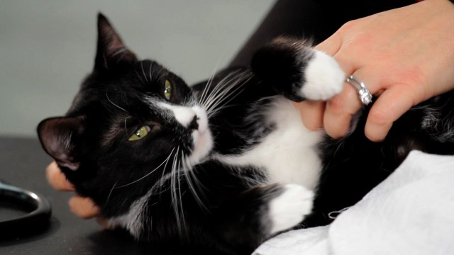 How to Teach a Cat to Enjoy Belly Rubs | Cat Care