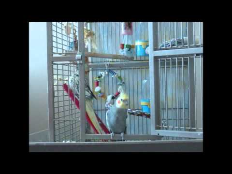 Pet Bird Clicker Training