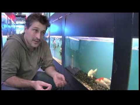 Pet Fish & Aquarium Care Tips : How to Buy Koi for Your Fish Pond
