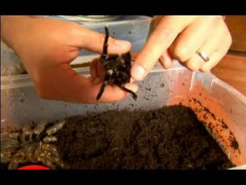 Pet Spider Tips for Chaco Golden Knee Tarantula : How Pet Chaco Tarantulas Mate
