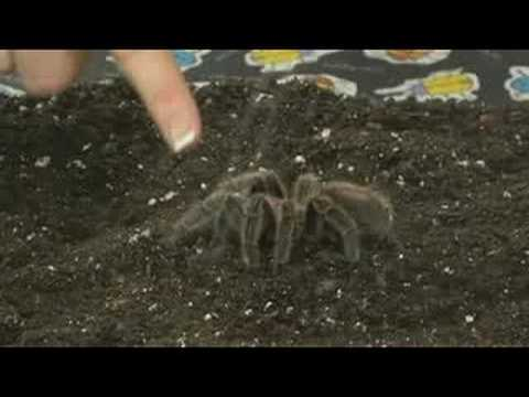 Pet Tarantula Care : Handling Tarantulas