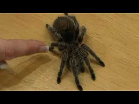 Pet Tarantula Care : Tarantula Anatomy