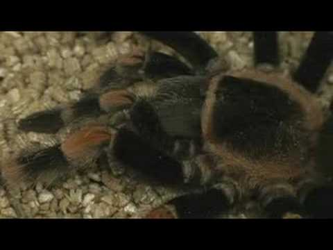 Pet Tarantula Care : Tarantula Conservation