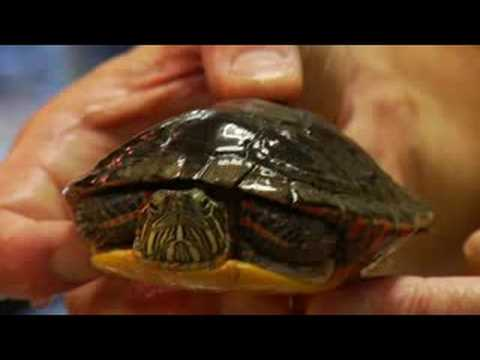 Pet Turtle Care : What Is the Behavior of a Turtle?