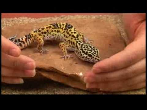 Reptiles, Amphibians, Invertebrates & Small Pets : Leopard Gecko Facts