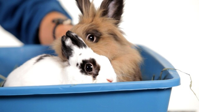 Should I Get a Friend for My Rabbit? | Pet Rabbits
