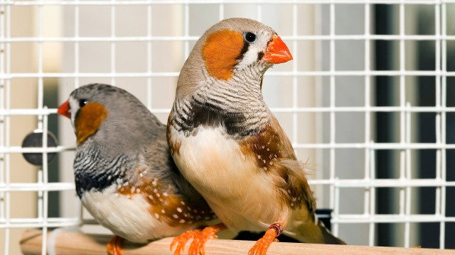Should You Have More than One Bird? | Pet Bird