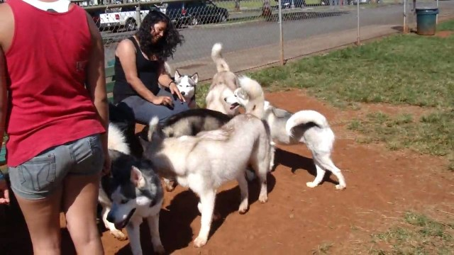Siberian Husky / Alaskan Malamute play day at Mililani Dog Park in Hawaii