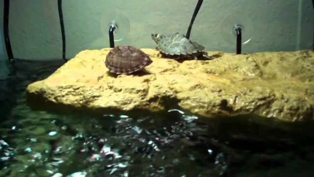 Turtle Tank Cleaning!!