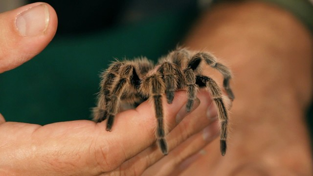 What Is a Tarantula? | Pet Tarantulas