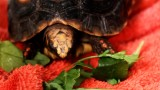 What to Do If Your Turtle Won't Eat | Pet Turtles