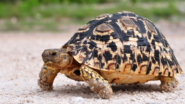 What's a Desert Tortoise? | Pet Turtles