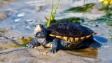 What's a Diamondback Terrapin Turtle? | Pet Turtles