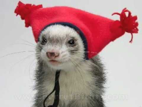 10 Ferret Myths – What You Need to Know