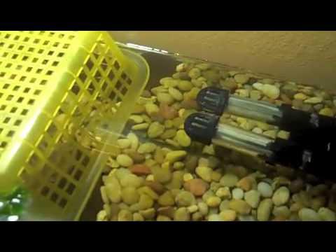 Baby Turtle Care (Aquatic Turtles)