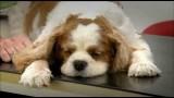 BBC – Pedigree Dogs Exposed