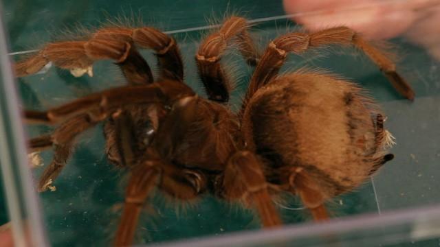 Common Tarantula Behavior | Pet Tarantulas